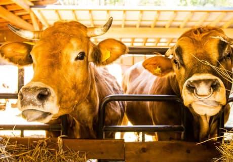 Zeidelhof - Kühe am Futtertisch (© Christoph Kempter / www.lensflair.at)
