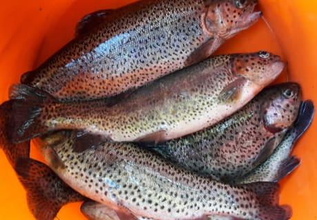 Fangfrische Forlellen aus dem eigenen Fischteich