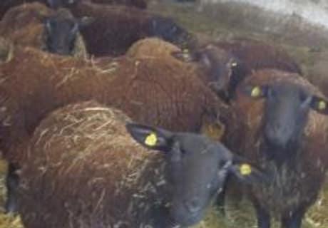 Schafe im Stall