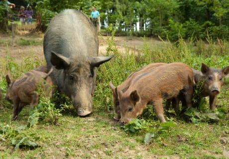 Die Hochrieß - Wildschweine