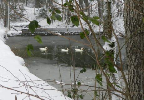 Unsere Enten in Ihrem Teich