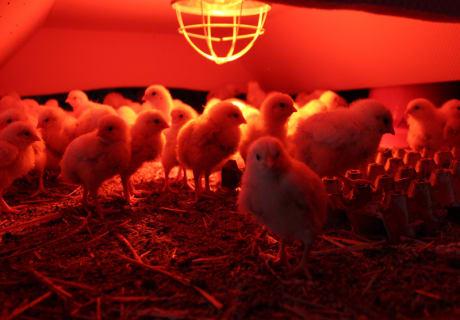 Hirmhof - Hühner Aufzucht