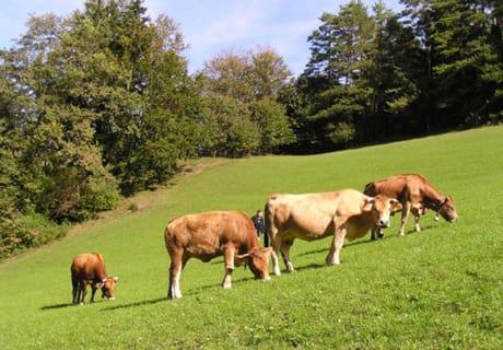 unsere Murbodner Kühe