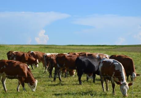 Biohof Steiner - Unsere Kühe auf der Weide