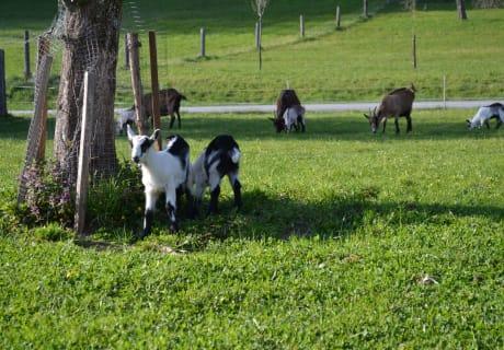 Unsere Ziegen mit Kitze