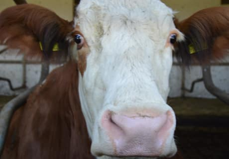 Lala Gesicht Kuh