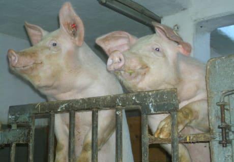 unsere glücklichen Schweine