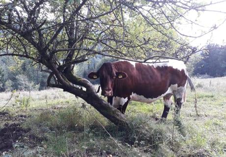 Unsere Pinzgauer Kühe