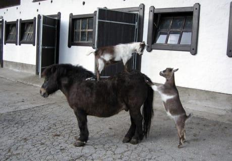 Pony und Ziegen