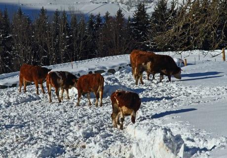 Jungrinder im Schnee