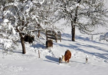 Die Kühe freuen sich über Schnee
