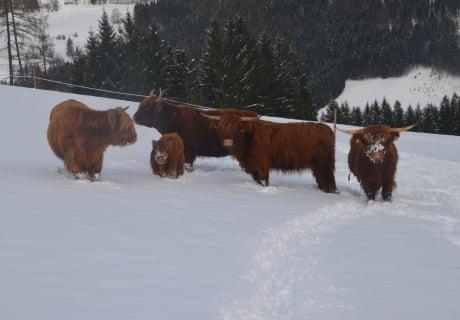 Unsere Hochlandrinder im Winter