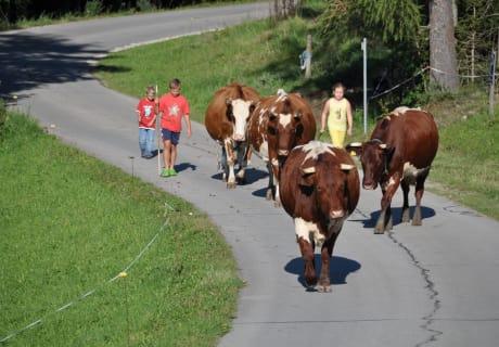 jeden Abend Kühe treiben