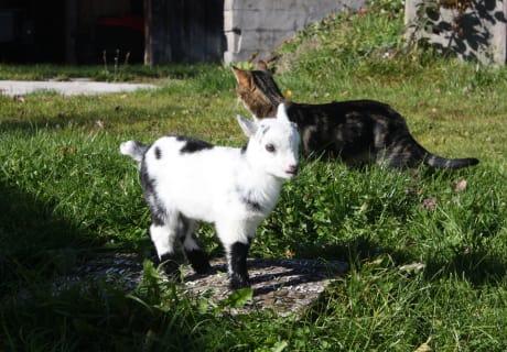"""Wer ist größer? Ziegenkitz """"Lilly"""" oder die Katze?"""