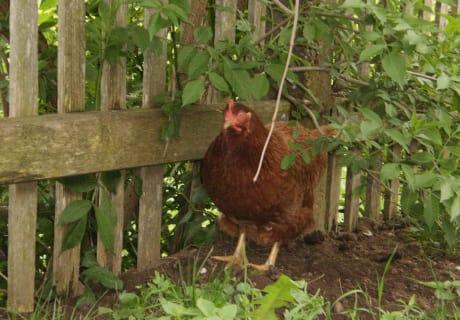 Huhn in der Natur