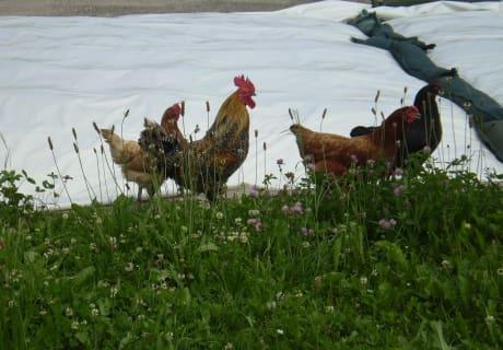 Hahn und seine Hennen