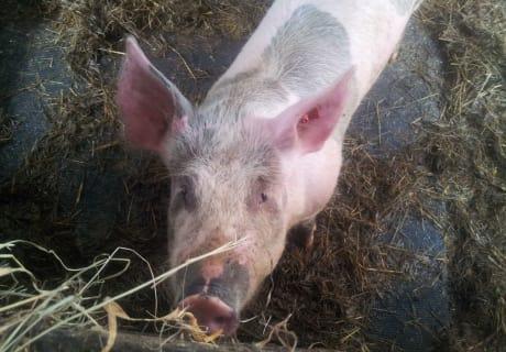Unser Schwein