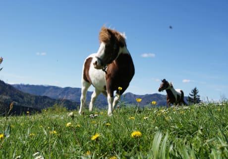 """Pony """"Schecki"""" & Pinto """"Spirit"""""""