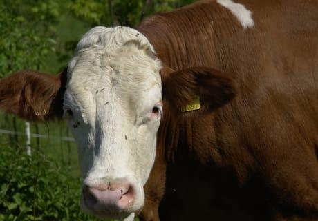 "die Kuh macht ""Muh"""