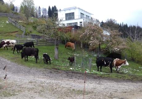 Kühe beim ersten Austrieb