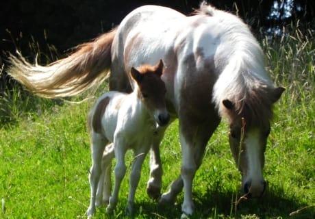 Ponys Tina u. Tessy