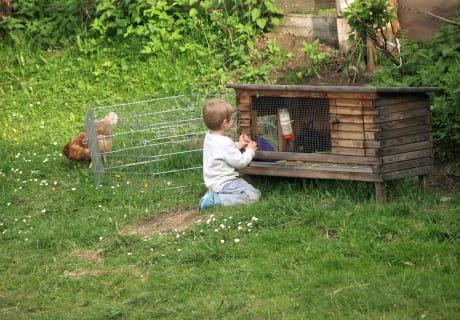 Hase und freilaufende Hühner