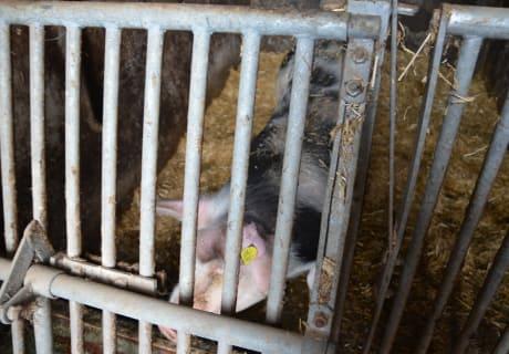 Schwein Josefine