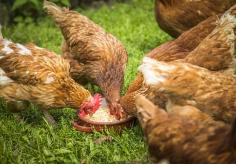 Hühner da gibt es was gutes