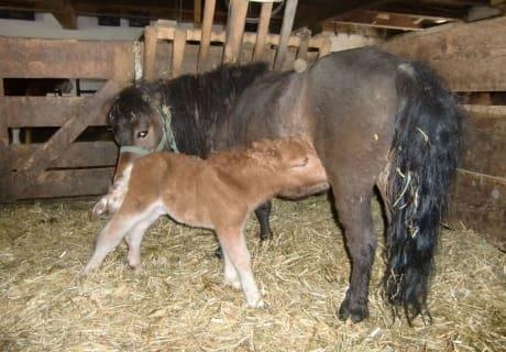 mini Pony Pauline mit ihrem Baby Willi