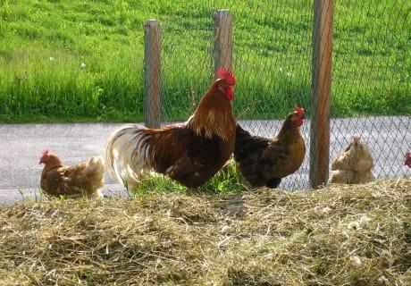 Ich wär so gern ein Huhn