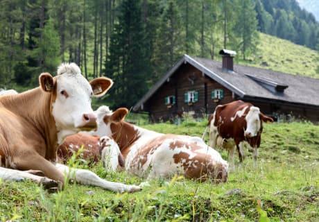 Die Kühe genießen den Sommer auf der Alm