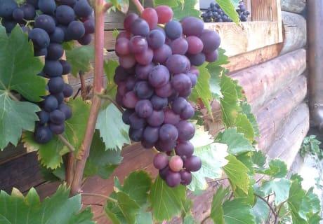 eigene Weintrauben