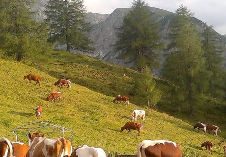 Unser Kühe machen auf unsere Alm auch Sommerurlaub