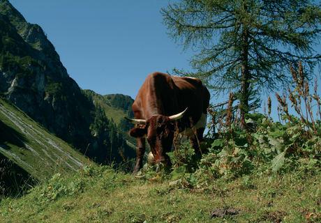 Vieh auf der Alm