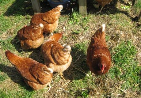 Hühner auf Futtersuche