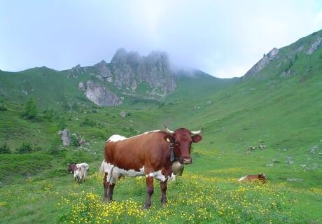 eine unserer stolzen Pinzgauer-Kühe