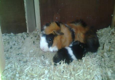 Meerschweinchen - Lina und Lara
