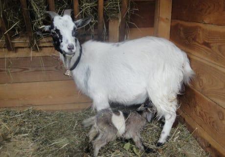 Zwergkitz Jimmy mit neugeborenem Kitz
