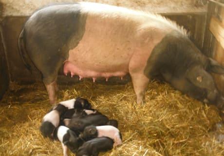 Unser Mutterschwein mit den Ferkel