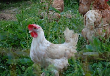 Frische Eier von Henne Berta