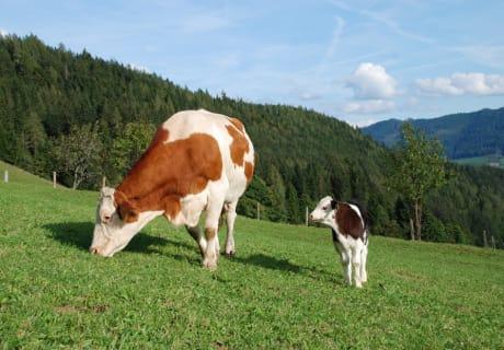 Kuh und Kälbchen gemeinsam auf der Weide