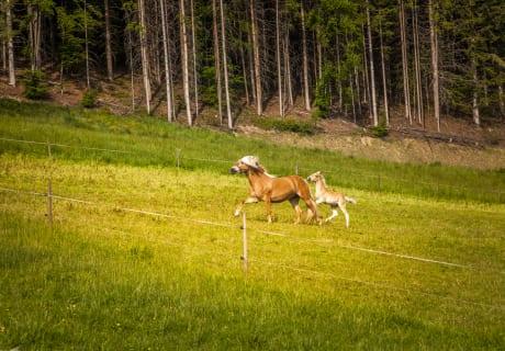 Haflinger