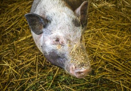 Schweinchen Lisa