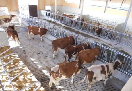 Im neuen Stall fühlen sich die Kühe wohl