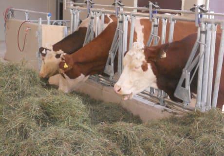 Mit Genuß fressen die Kühe bestes Heu