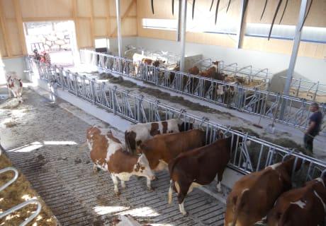 die Kühe sind in den neuen Stall eingezogen