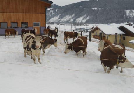 Auslauf für die Kühe