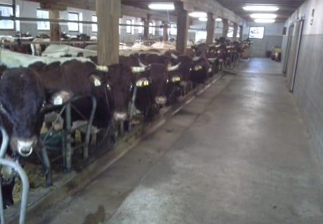 Reinrassige Pinzgauer Kühe