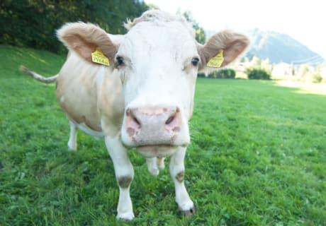 Freundliche Kuh