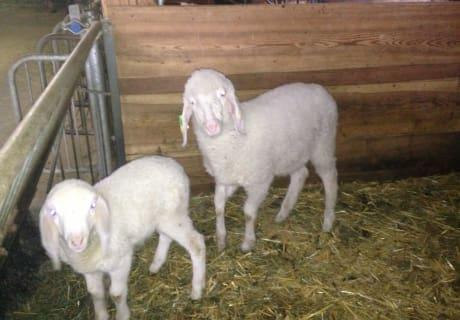 zwei unserer Schafe...